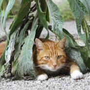 Inner Temple Cat
