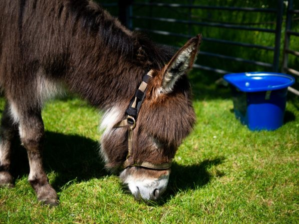 9-Minature-donkeys-at-Fete